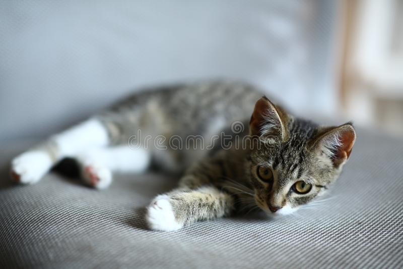 Grey and white Cat lies on office chair in living room stock images