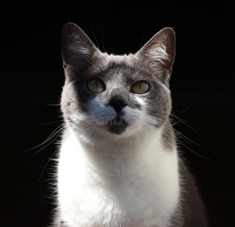 Grey and white cat. Looking away stock photos