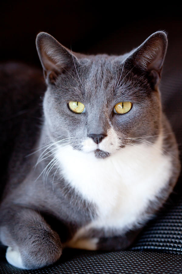 Grey and White Cat Portrait royalty free stock photos