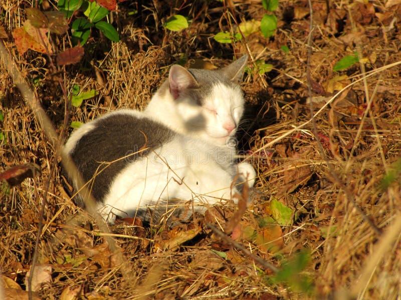 Grey And White Cat Sleeping royalty-vrije stock foto