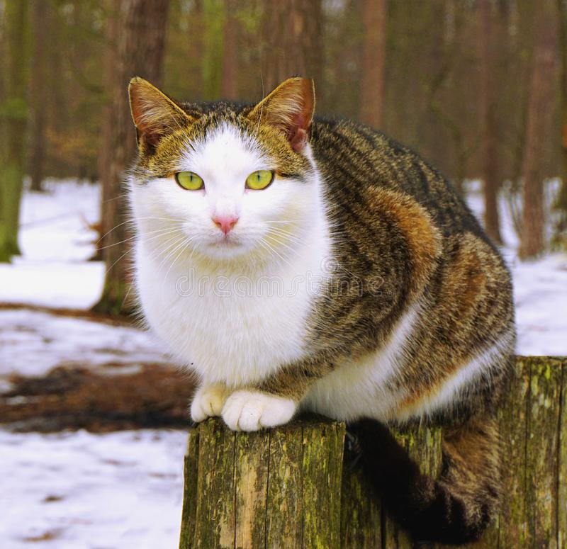 Grey white cat with yellow eyes sits on stump royalty free stock images