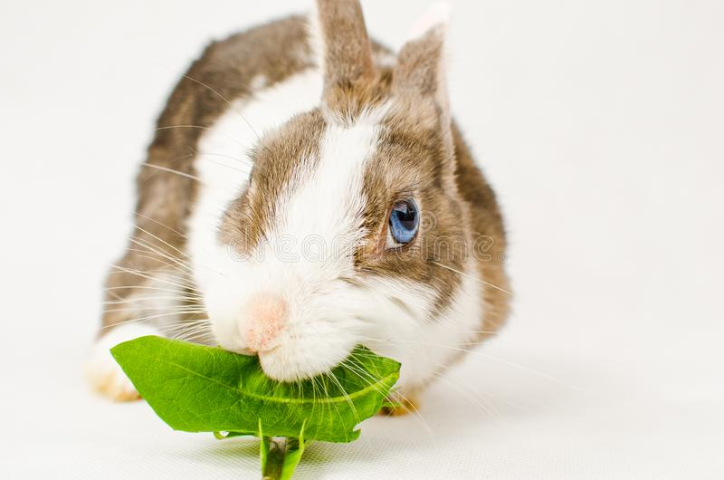 Grey and white dwarf rabbit with blue eyes eating green sappy dandelion leaf on white background.  stock images