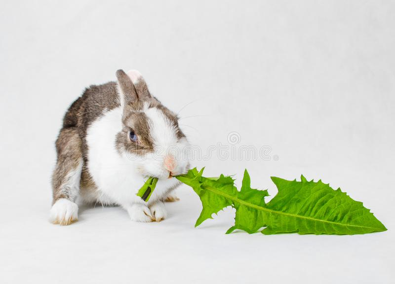 Grey and white dwarf rabbit with blue eyes eating green sappy dandelion leaf on white background.  royalty free stock image