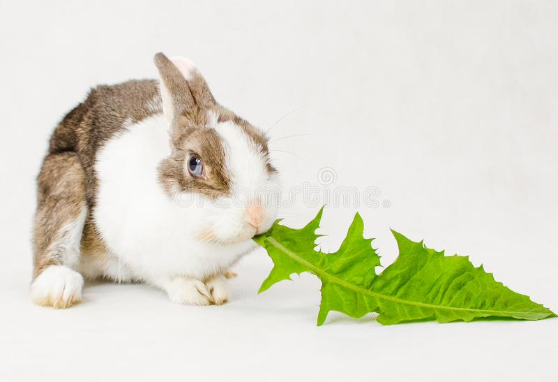 Grey and white dwarf rabbit with blue eyes eating green sappy dandelion leaf on white background.  stock photo