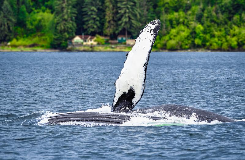 Humpback Whale Waving Pectoral Fin. A grey and white humpback whale waves its massive pectoral fin out of the blue ocean water on a cold summer day in Alaska stock photography