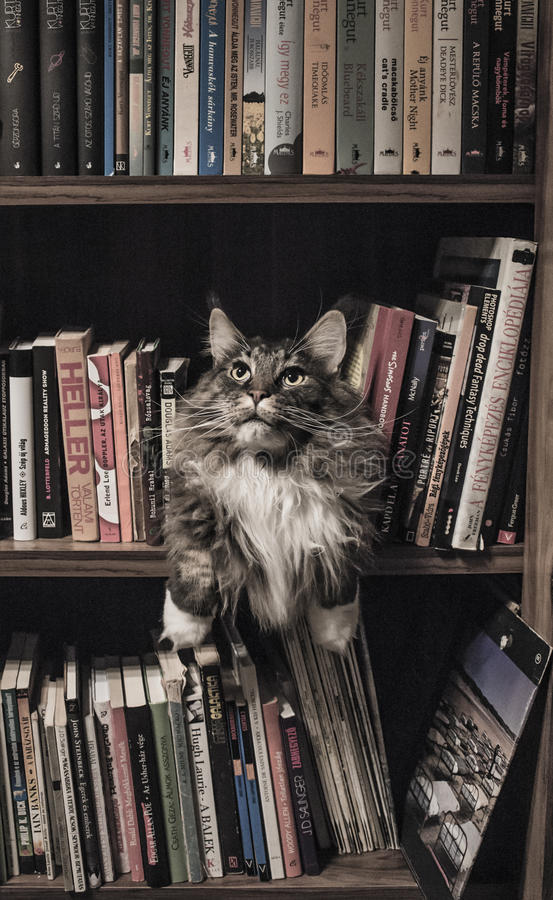 Grey and White Long Coated Cat in Middle of Book Son Shelf royalty free stock photo