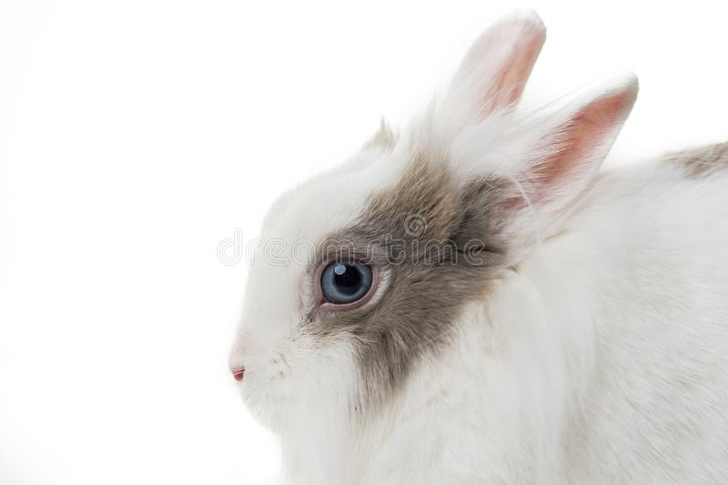 Rabbit on white background, close up. royalty free stock photography