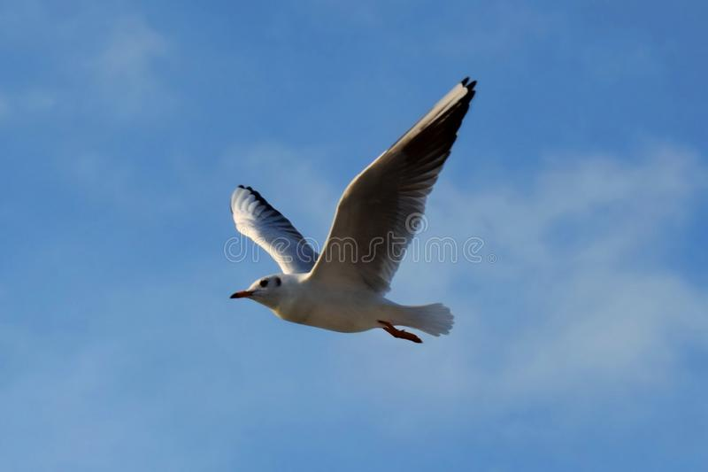 Grey and white seagull in mid-air. Dark grey and white seagull in mid-air looking to the left with a blue sky background and light clouds stock images