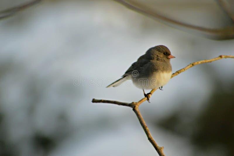 Grey and White Small Bird royalty free stock photos