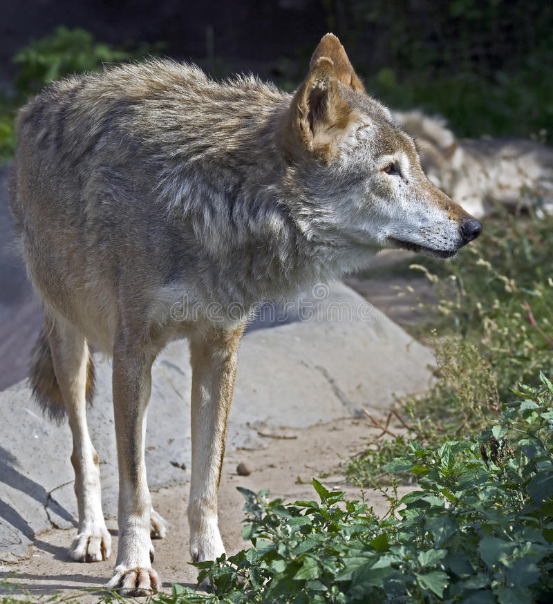 Download Grey wolf 1 stock photo. Image of creature, dangerous - 26867978