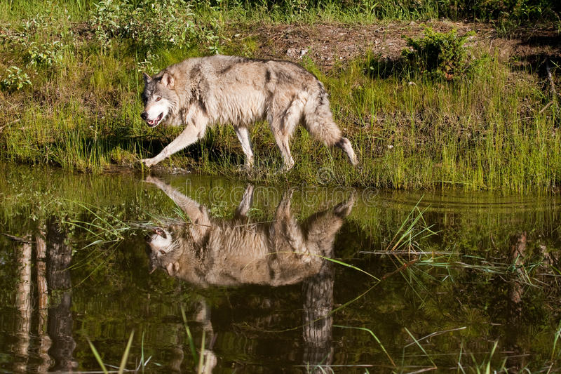 Download Grey Wolf stock photo. Image of carnivorous, prowling - 15254500