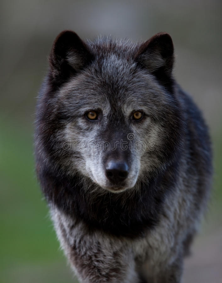 Grey Wolf. Staring in close-up stock photo