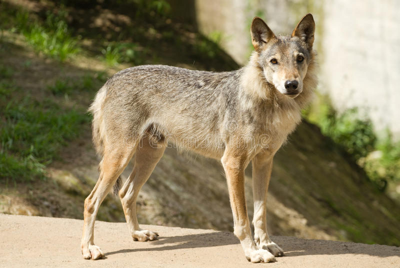 Download Grey wolf stock image. Image of predator, forest, furry - 23236769