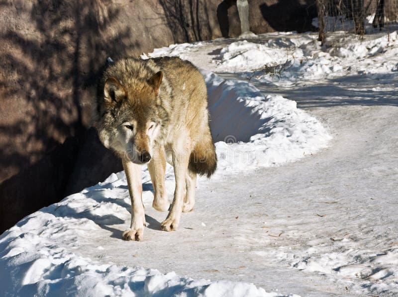 Download Grey wolf stock image. Image of closeup, predator, european - 23288325