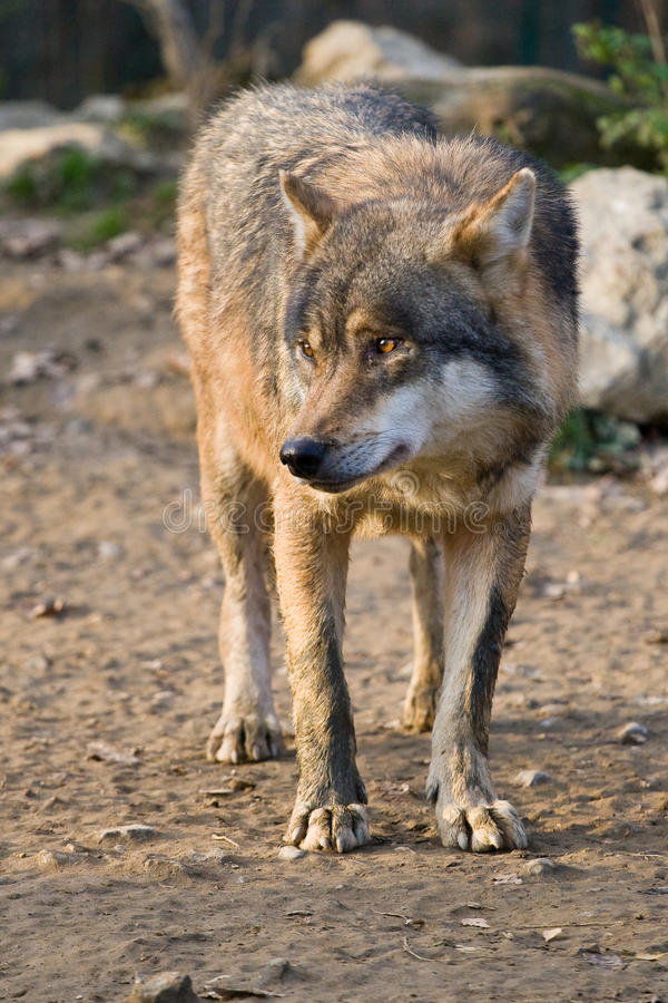 Download The Grey Wolf stock photo. Image of lupus, outdoors, nature - 23743320