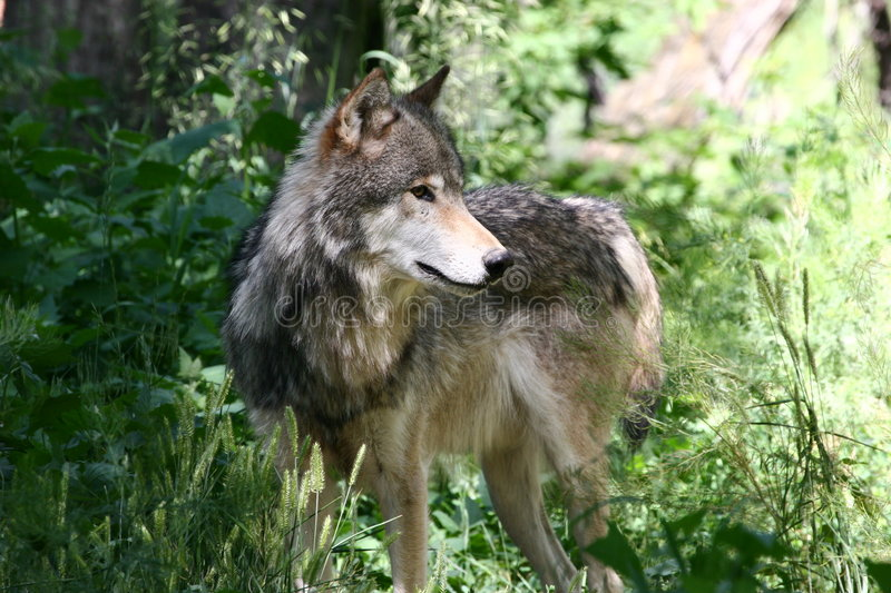 Download A Grey Wolf stock photo. Image of furry, paws, dogs, hunt - 267318
