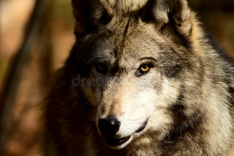 Download Grey Wolf Royalty Free Stock Images - Image: 28676089