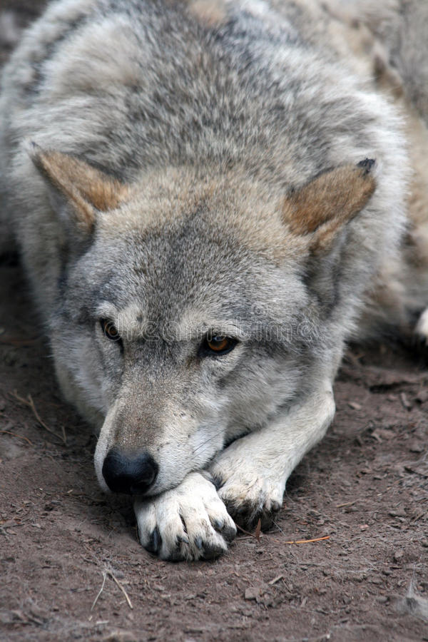 Free Grey Wolf Stock Images - 30243374