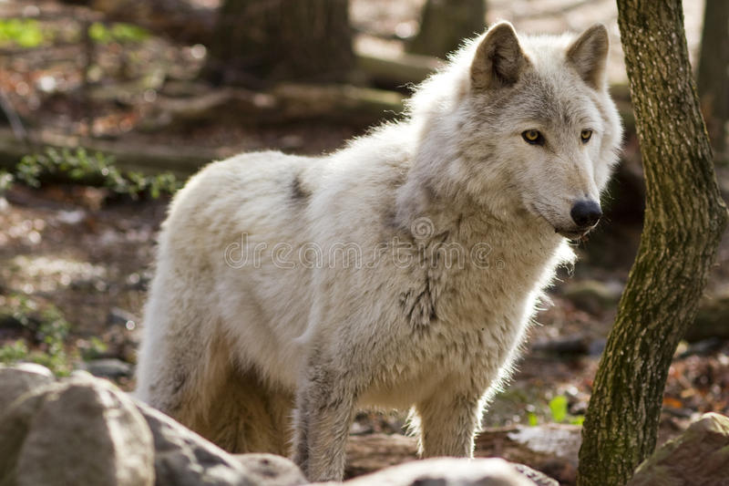 Grey Wolf backlit. Grey wolf staring intently at his prey with backlight stock photos