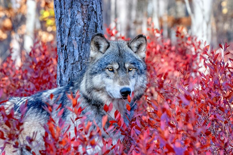 Grey wolf in blueberry bushes royalty free stock image
