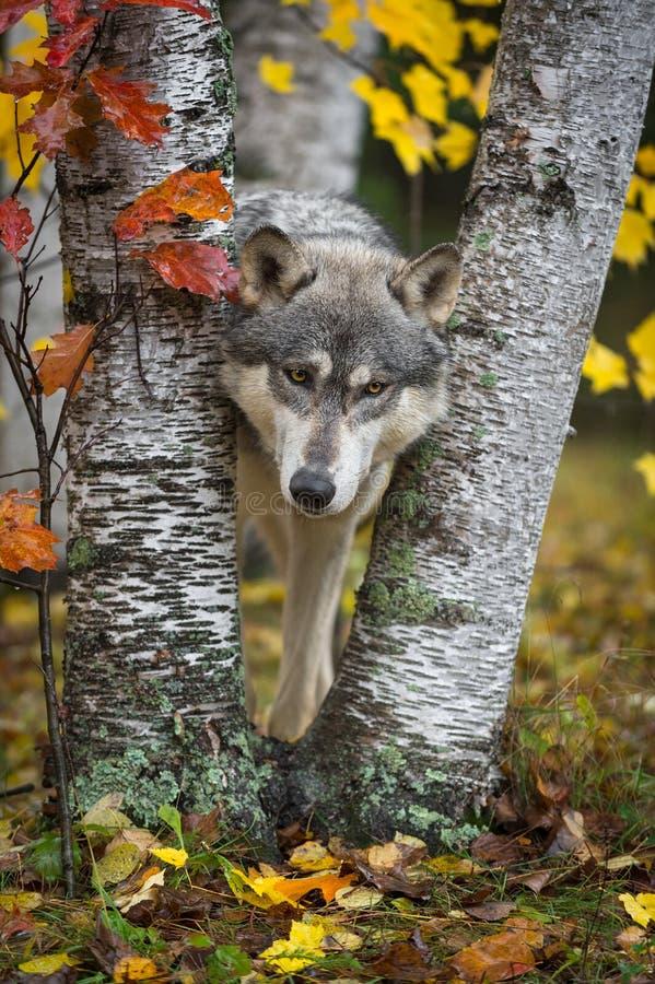 Grey Wolf Canis-de wolfszweer kijkt uit van tussen Autumn Leaved Trees royalty-vrije stock foto's