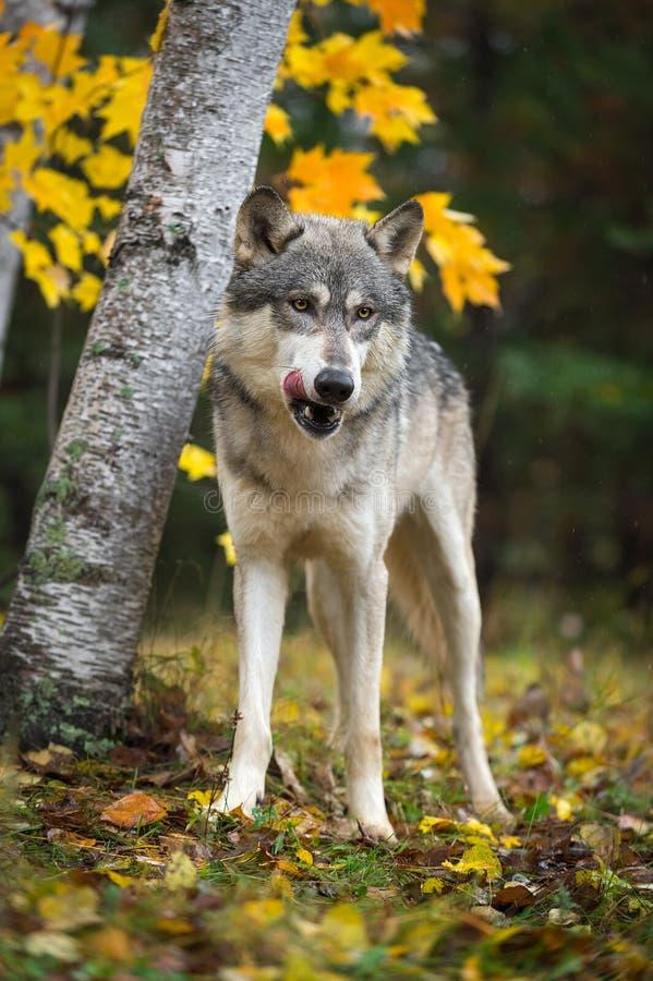 Grey Wolf Canis-de wolfszweer likt Karbonades in Autumn Woods royalty-vrije stock foto