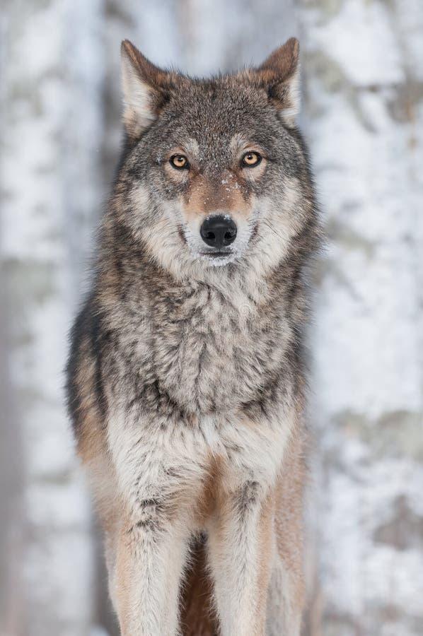 Grey Wolf (Canis-de wolfszweer) Rechtdoor royalty-vrije stock foto