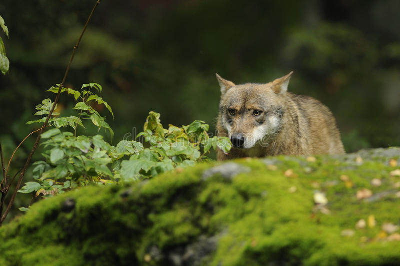 Grey Wolf ( Canis lupus ) stock photo