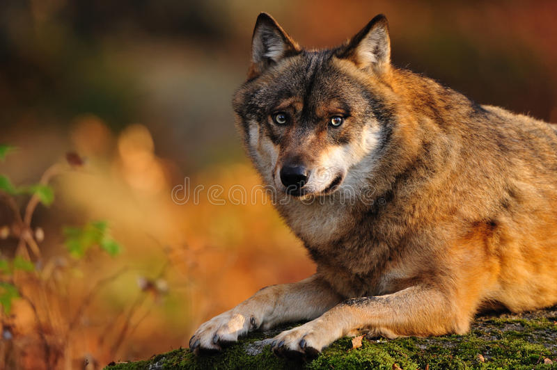 Grey wolf (Canis lupus). In a deer-park (Germany royalty free stock photography