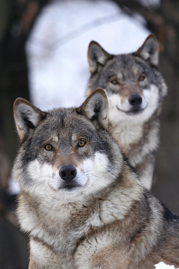 Free Grey Wolf, Canis Lupus Royalty Free Stock Photo - 9762255
