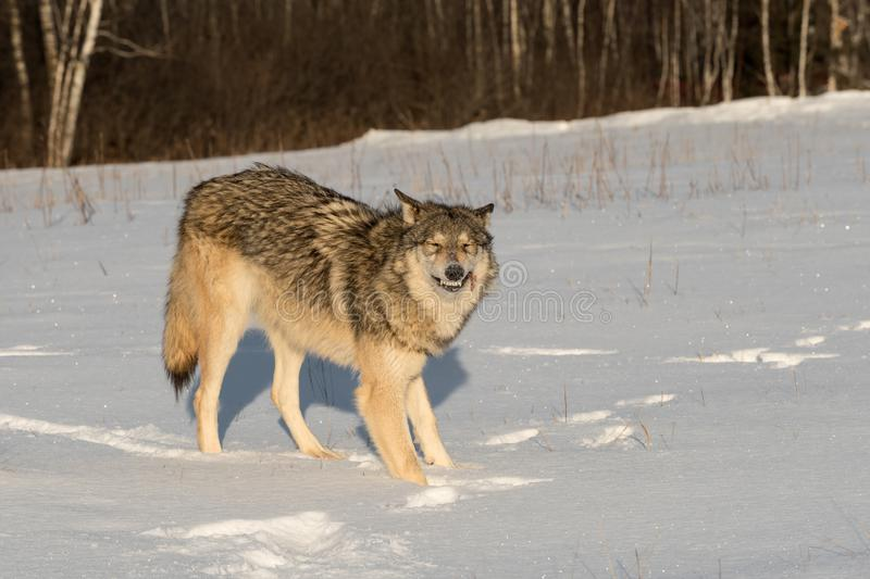 Grey Wolf Canis lupus Bares Teeth With Piece of Meat. Captive animal royalty free stock photos