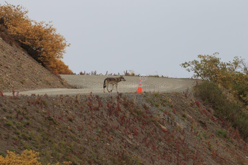 Grey Wolf & x28;Canis lupus& x29; , Denali National Park, Alaska,USA stock photography