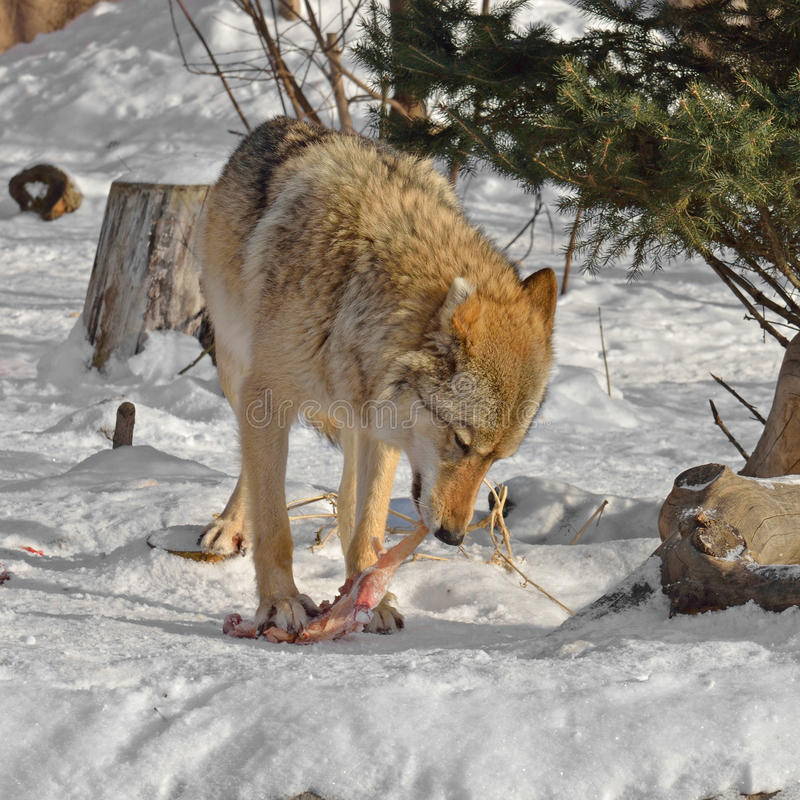 Grey Wolf Canis lupus eats meat royalty free stock photo