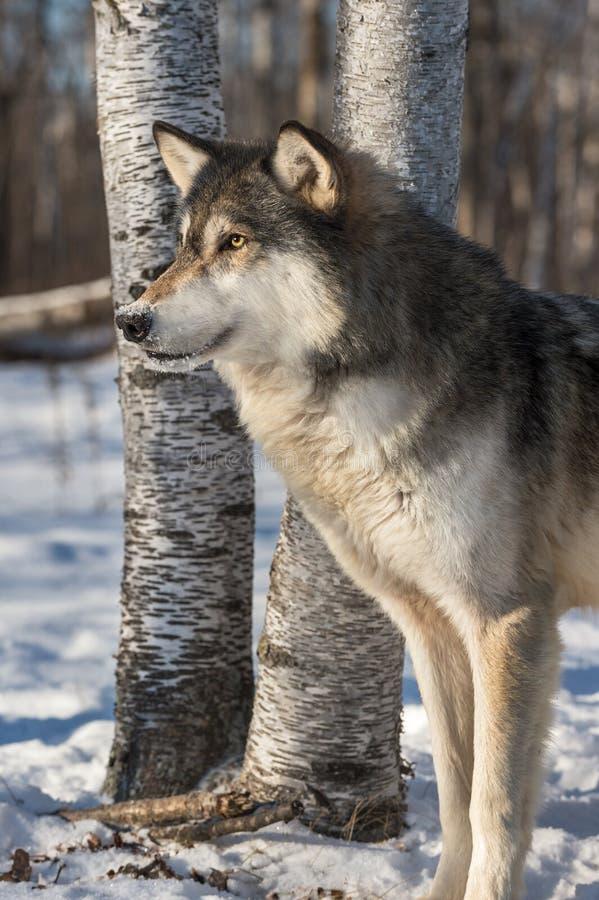 Grey Wolf Canis-Lupus intensiver Blick gelassen stockfotografie