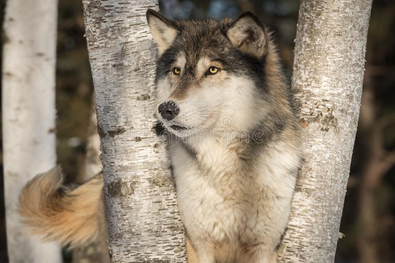 Grey Wolf Canis lupus Looks Out Tail Wagging. Captive animal royalty free stock photography