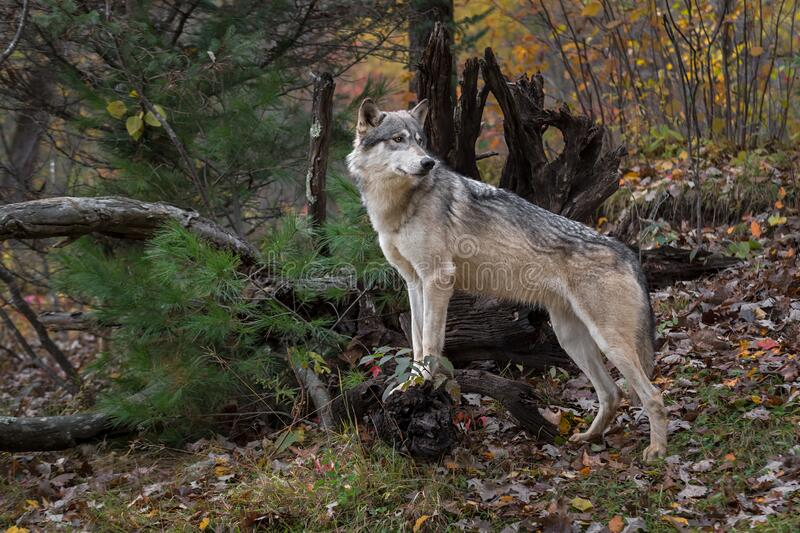 Grey Wolf Canis lupus Paws Up Looks Over Shoulder to Right Autumn stock photo