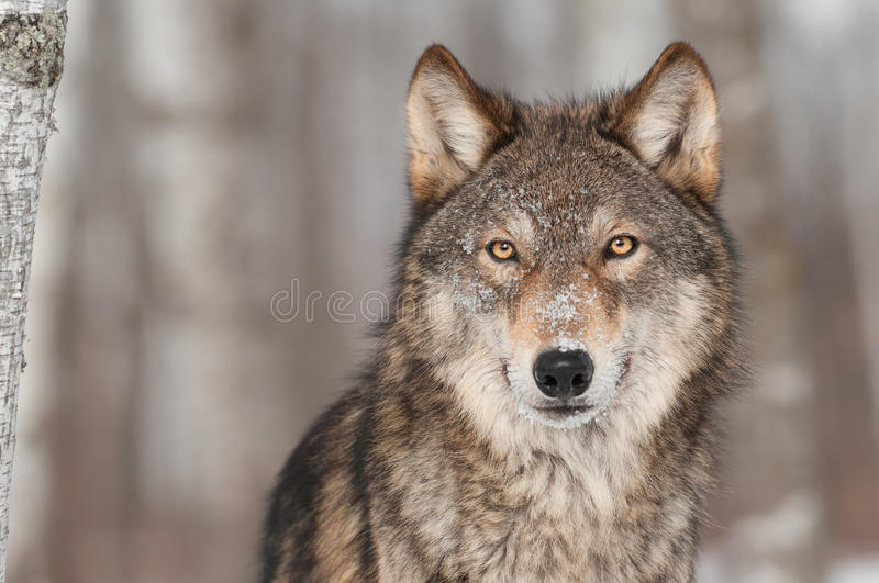 Grey Wolf (Canis lupus) Portrait royalty free stock images