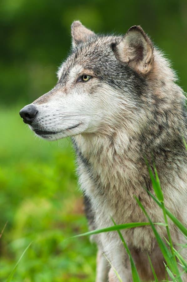 Grey Wolf Canis-Lupus Profil gelassen lizenzfreie stockfotos