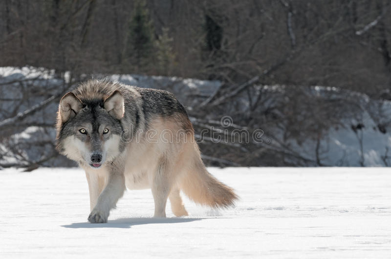 Download Grey Wolf (Canis Lupus) Prowls On Riverbed Stock Photo - Image: 30731644