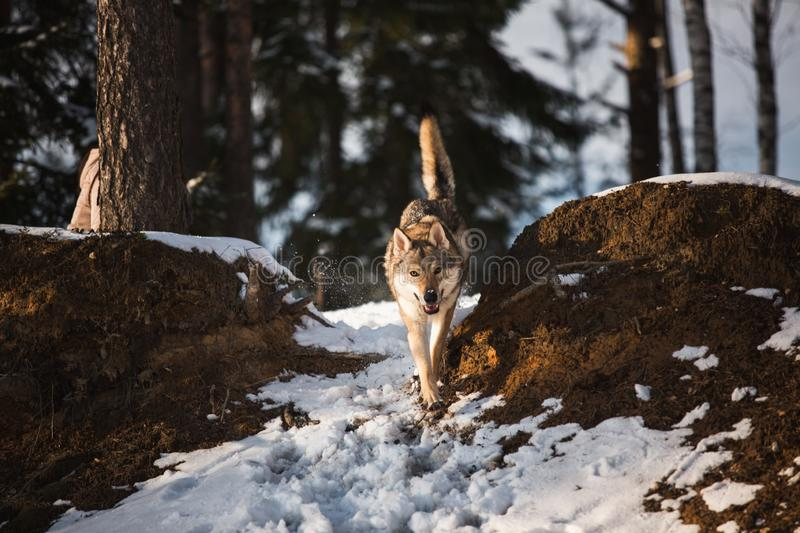 Grey Wolf, Canis lupus running at camera direction in a meadow on snow royalty free stock photo