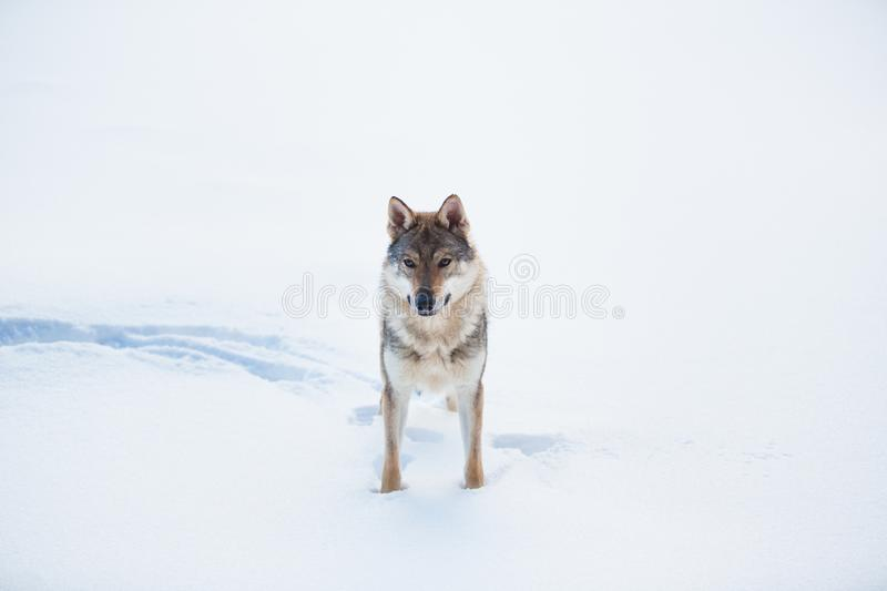 Grey Wolf, Canis lupus standing in a meadow on snow stock photos