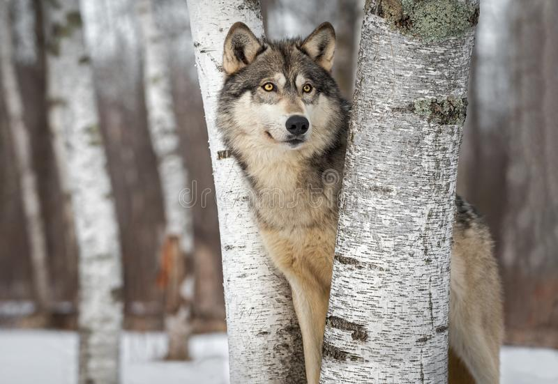 Grey Wolf Canis lupus Between Trees Looks Up and to Right Winter. Captive animal stock images