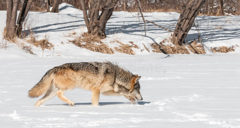 Download Grey Wolf (Canis Lupus) Trots Along Snowy Riverbed Stock Images - Image: 29741414