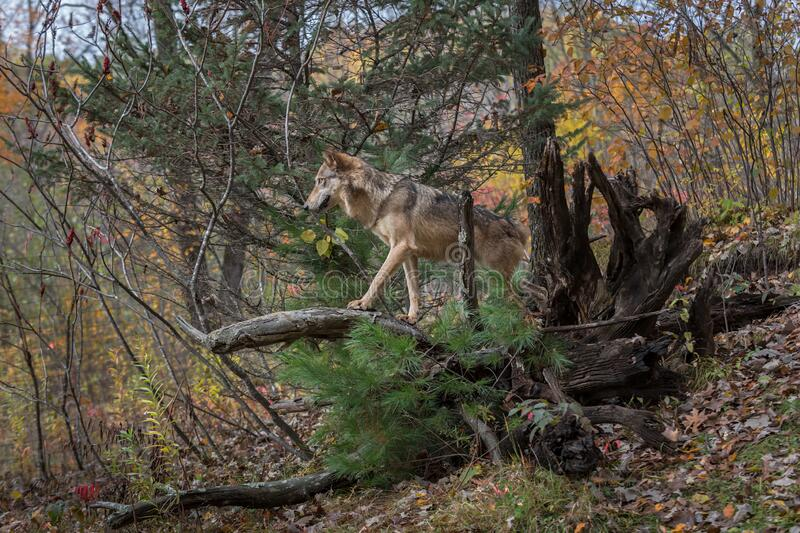 Grey Wolf Canis lupus Walks Out on Root Bundle Autumn royalty free stock image
