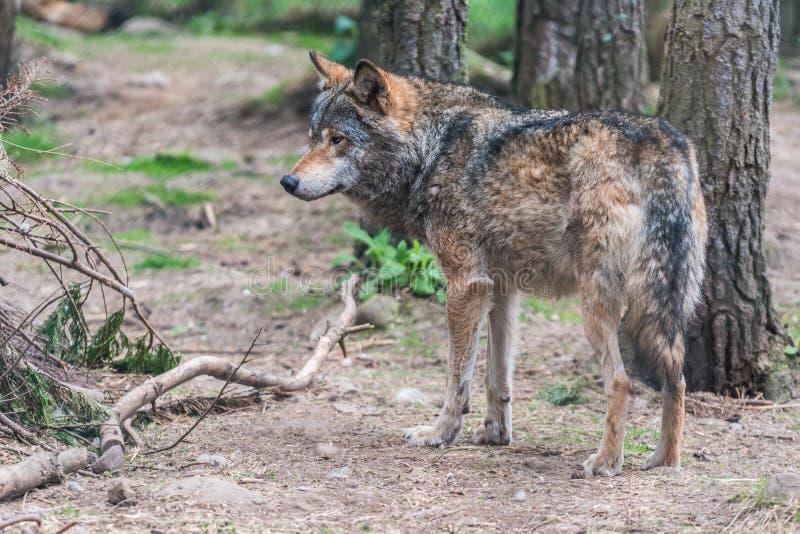 Grey Wolf Canis-wolfszweer stock foto's