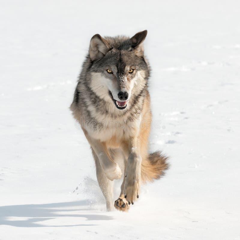 Grey Wolf (Canislupus) rinnande raksträcka på tittaren arkivfoton