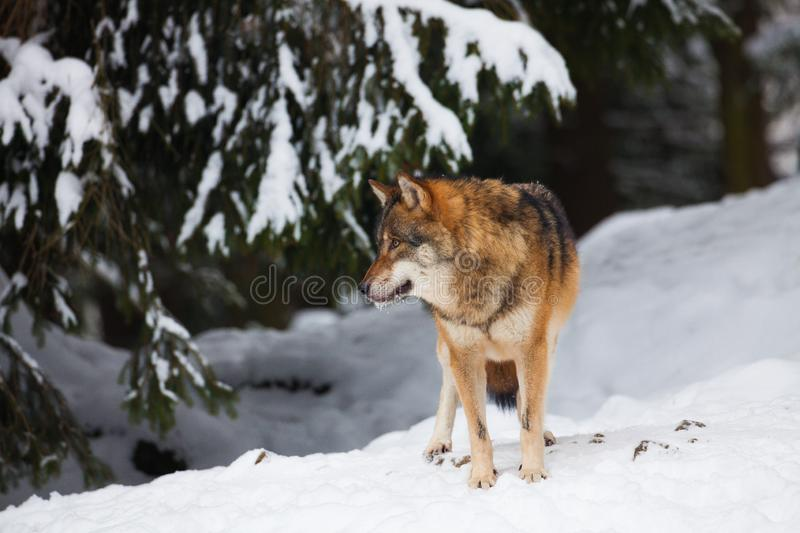 A grey Wolf in a white winter landscape with snow - Canis Lupus royalty free stock images