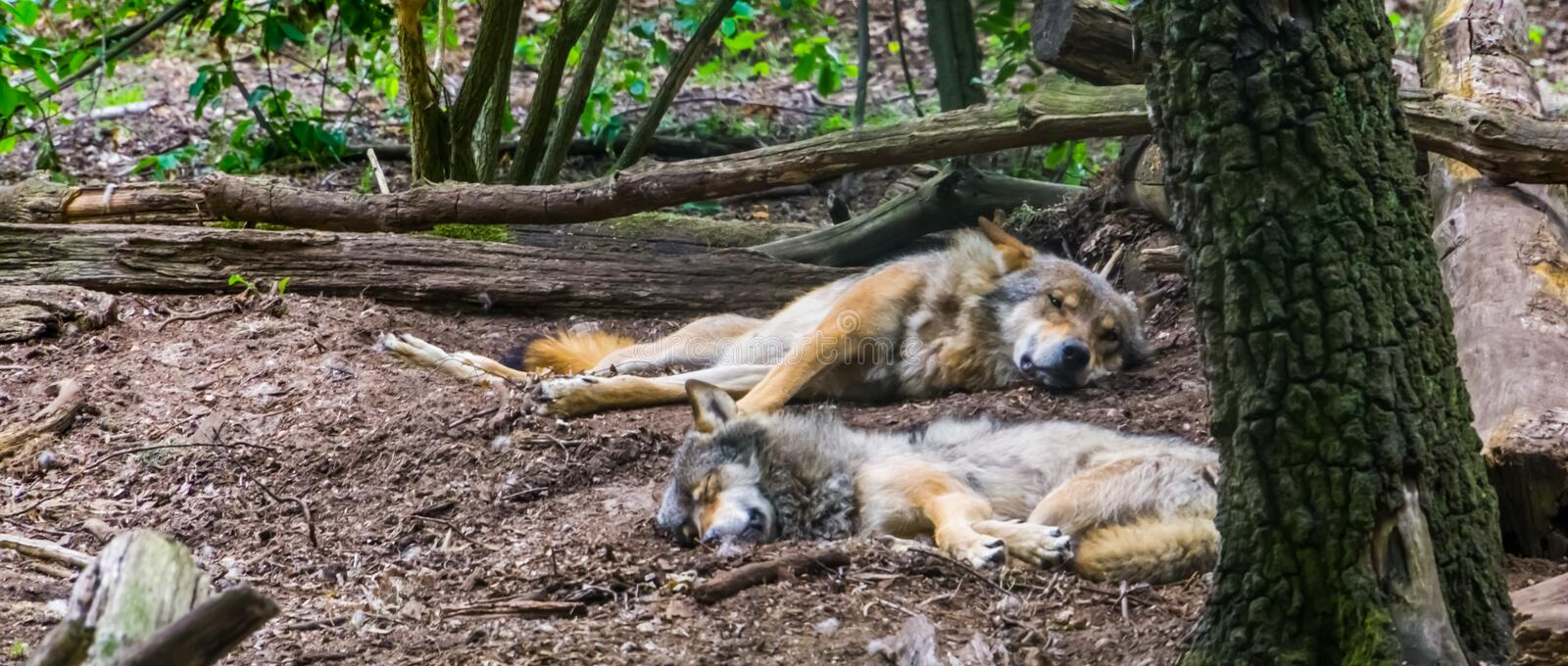 Grey wolf couple laying on the ground together in the forest, Wild animal specie from the forests of Eurasia. A grey wolf couple laying on the ground together in royalty free stock photos