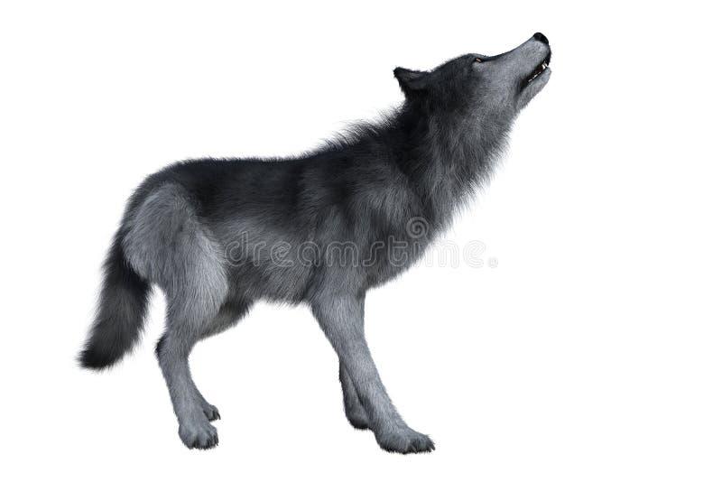 Grey Wolf Howling fotografia stock libera da diritti