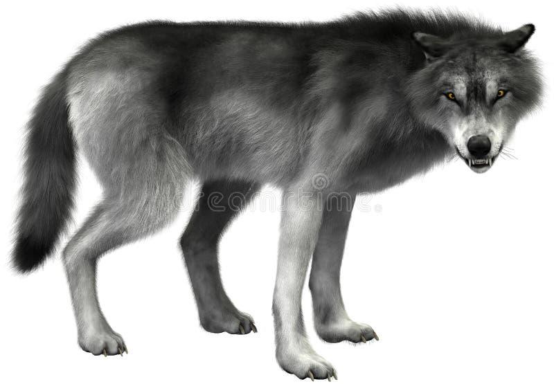 Grey Wolf Illustration Isolated djurliv vektor illustrationer